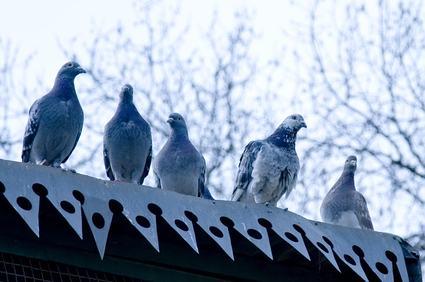I piccioni imperversano ed il condomino vuole ripararsi con una pensilina: l'assemblea può contestargli l'alterazione del decoro
