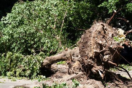 Ok all'estirpazione degli alberi del vicino se le distanze sono misurate dalla base del tronco
