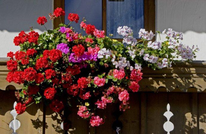 Gerani che sporcano i balconi sottostanti