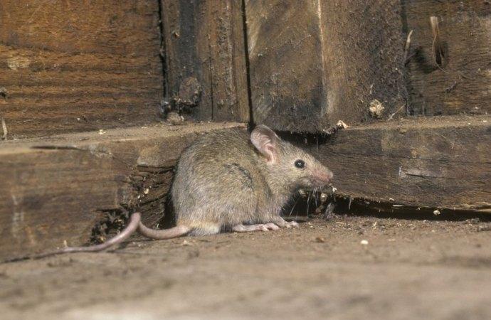 L'invasione di topi  non legittima il conduttore all'inadempimento dell'obbligo di pagare il canone